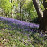 Malvern Walking Festival Bluebell in the woods